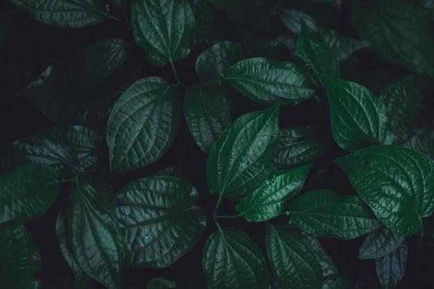Feuilles vertes de fond. bétel sauvage leafbush nature fond de ton vert foncé. Photo Premium