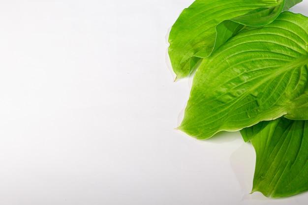 Feuilles Vertes Avec Des Gouttes D'eau Sur Fond Blanc. Convient Aux Tableaux, Cartes Postales. Copiez L'espace. Photo Premium