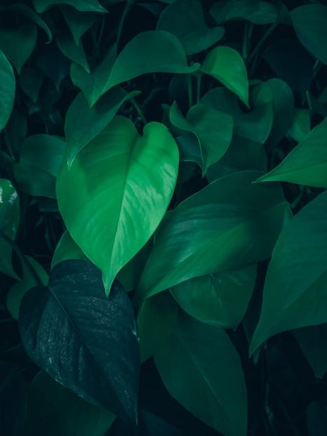 Les Feuilles Vertes Gros Plan Sur Le Mur. Liane Bouclée. Photo Premium