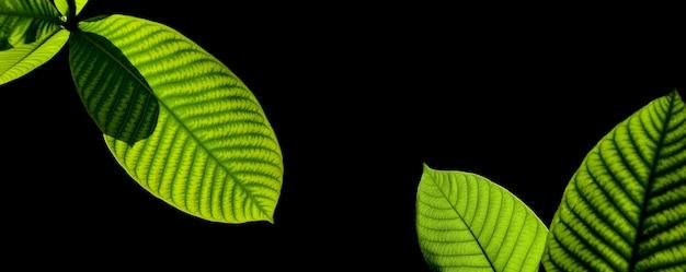 Feuilles vertes isolées sur fond noir Photo Premium