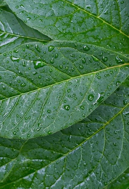 Feuilles vertes d'une plante ou d'un arbuste, de la rosée, des gouttes d'eau ou après la pluie. la structure du feuillage. fond texturé Photo Premium