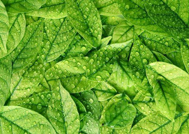 Feuilles vertes texture fond avec gouttes d'eau de pluie Photo Premium