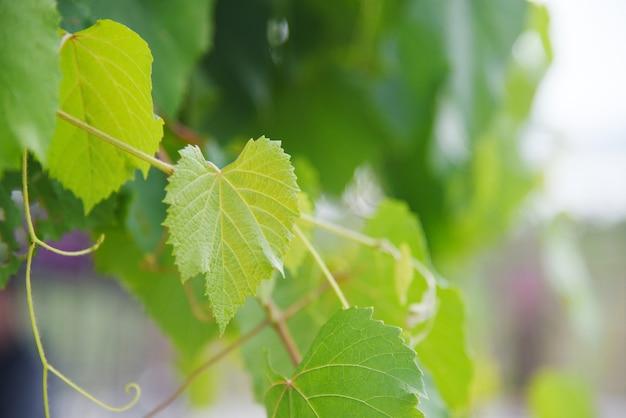 Feuilles de vigne vert sur plante tropicale de branche dans la nature du vignoble Photo Premium
