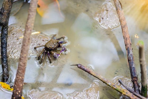 Fiddler crabe, crabe fantôme (ocypodidae) marchant dans la mangrove Photo Premium