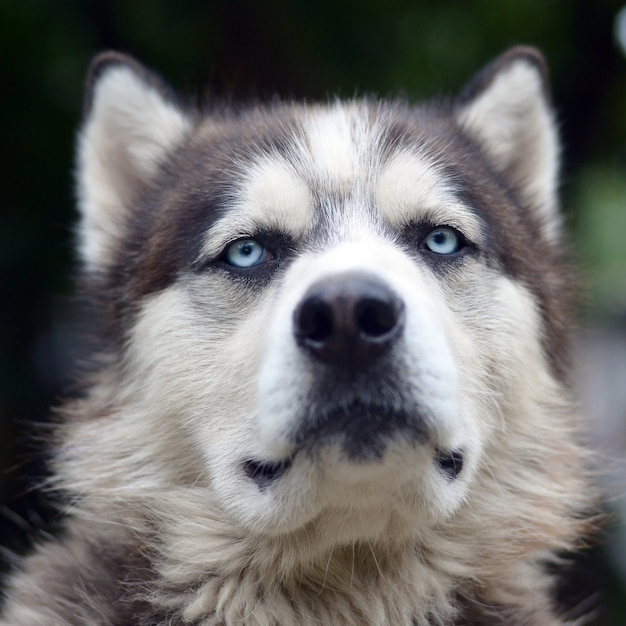 Fier Beau Jeune Chien Husky Avec Tête De Profil Assis Dans Le Jardin Photo Premium