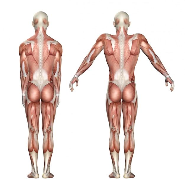 Figure médicale 3d montrant l'élévation de l'omoplate et la dépression Photo Premium