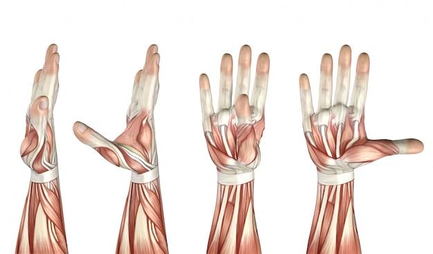 Figurine médicale 3d montrant l'abduction du pouce, l'adduction, l'extension et la flexion Photo Premium