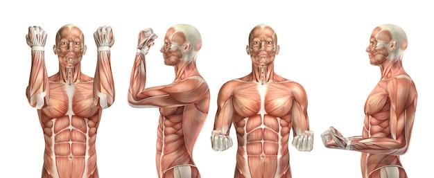 Figurine médicale 3d montrant la flexion et l'extension du coude Photo Premium