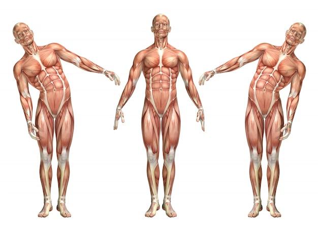 Figurine médicale 3d montrant la flexion latérale du tronc Photo Premium