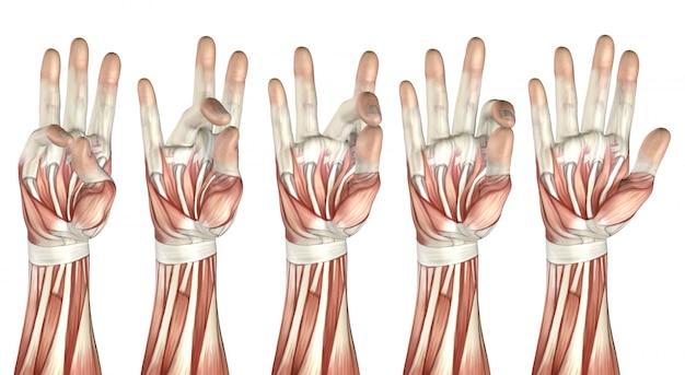 Figurine médicale 3d montrant le pouce touchant chaque doigt Photo Premium