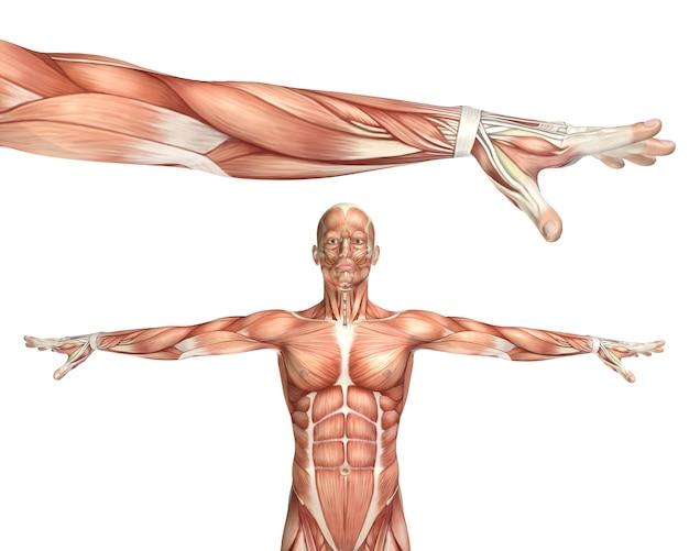 Figurine médicale 3d montrant la pronation du coude Photo gratuit