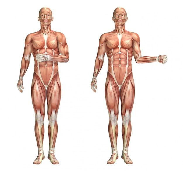 Figurine médicale 3d montrant la rotation interne et externe de l'épaule Photo Premium