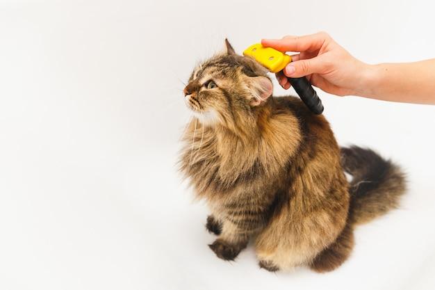 Une fille gratte un chat avec un furminator. salle de bain blanche comme fond Photo Premium