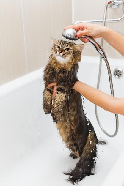 La fille lave un chat moelleux dans la douche dans un bain blanc Photo Premium