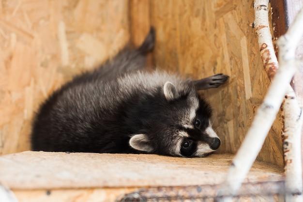 Fille nourrir un raton laveur dans un zoo. Photo Premium
