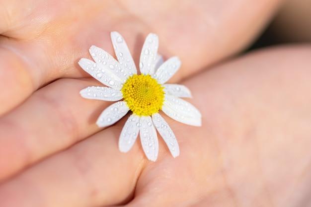 Une Fille Tient Une Fleur De Camomille Des Champs Dans Ses Mains Photo Premium