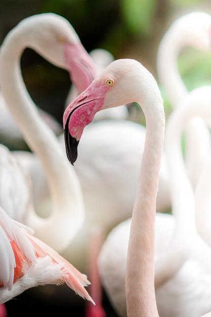 Flamant rose-gros plan, il a une belle coloration des plumes Photo Premium