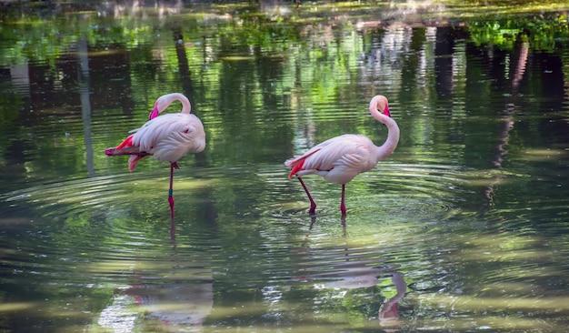Les flamants roses cherchent leur nourriture dans l'étang. Photo Premium