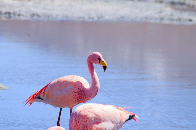 Flamants Roses à Laguna Hedionda, En Bolivie Photo Premium