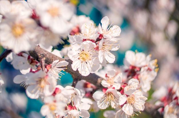 Fleur d'abricot, forme de coeur flou bokeh Photo Premium