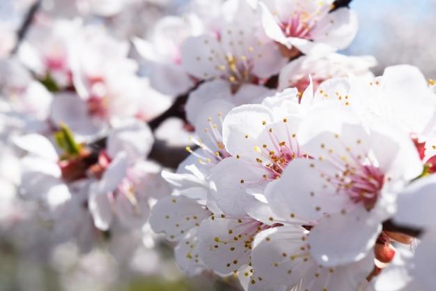 Fleur d'abricot. printemps frais Photo Premium