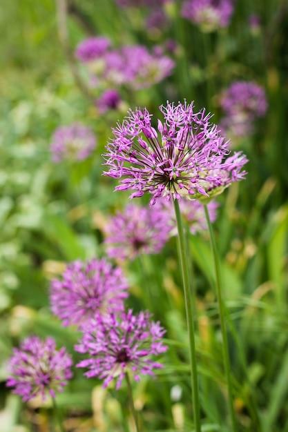 Fleur D'allium (oignon Sauvage) Photo Premium