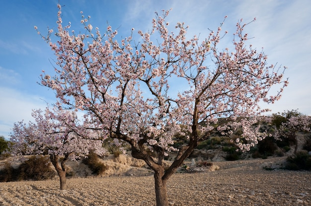 Fleur d'amande Photo Premium