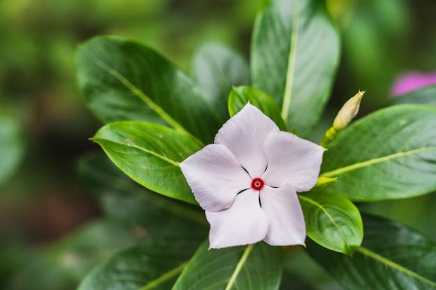 Fleur blanche dans le jardin, pervenche des indes occidentales, madagascar Photo Premium