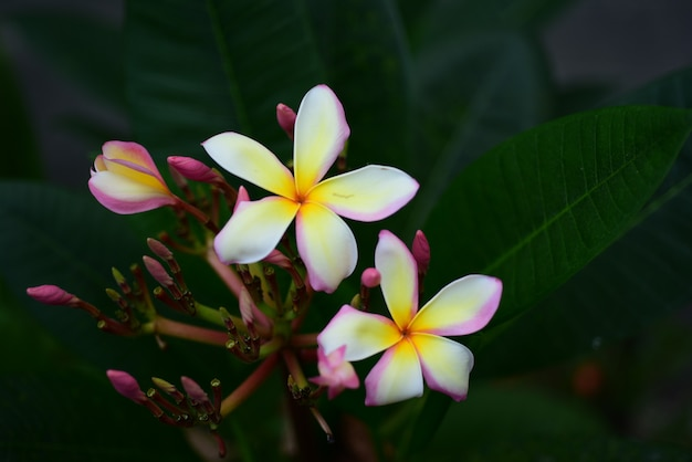 Fleur blanche rose. fond de fleur jaune ou blanche. fleurs colorées dans la nature. Photo Premium