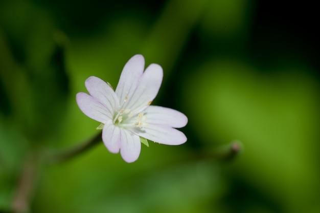 Fleur Blanche Unique Sur Fond Vert. Fleur Blanche Dans La Nature Photo Premium