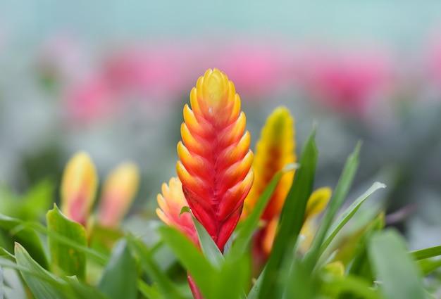 Fleur de broméliacée / belle broméliacée rouge et jaune en pépinière sur plantes roses bac Photo Premium