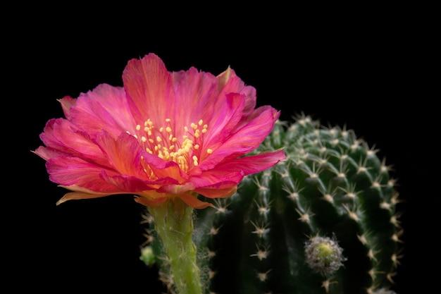 Fleur de cactus fleurissant couleur rouge hybride lobivia Photo Premium