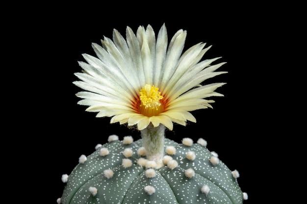 Fleur de cactus en fleurs astrophytum asterias Photo Premium