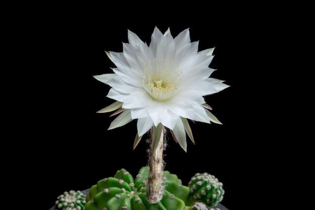 Fleur de cactus en fleurs echinopsis subdenudata couleur blanche Photo Premium
