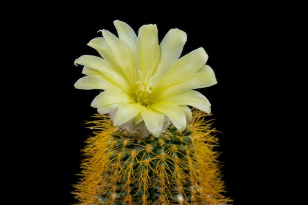 Fleur de cactus en fleurs frailea magnifica jaune Photo Premium