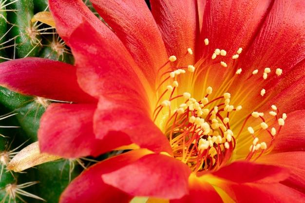 Fleur de cactus en fleurs lobivia hybrid red color Photo Premium
