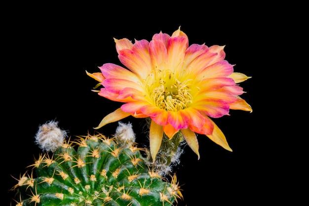 Fleur de cactus en fleurs lobivia hybride bicolore Photo Premium