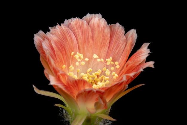 Fleur de cactus en fleurs lobivia hybride de couleur orange Photo Premium