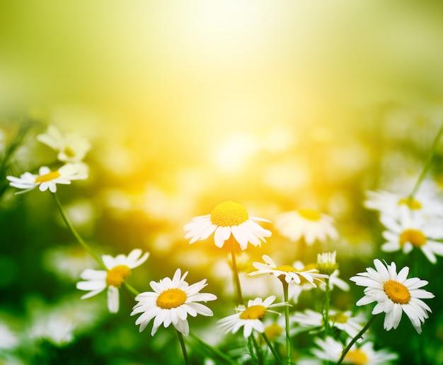 Fleur de camomille dans la nature Photo Premium