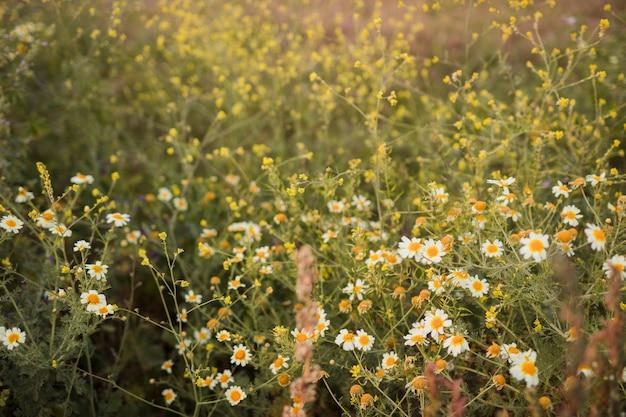 Fleur de camomille sauvage Photo gratuit