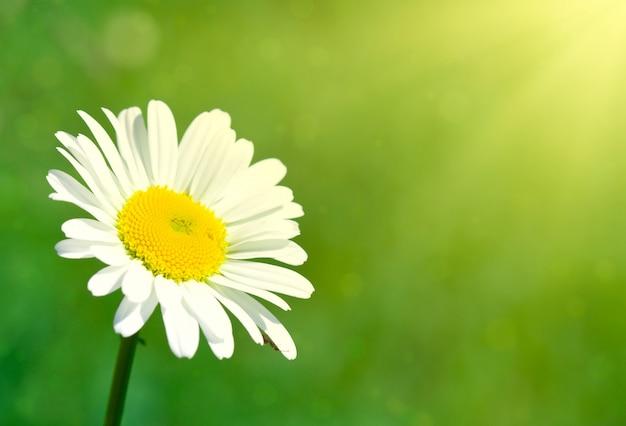 Fleur de camomille sous les rayons du soleil Photo Premium