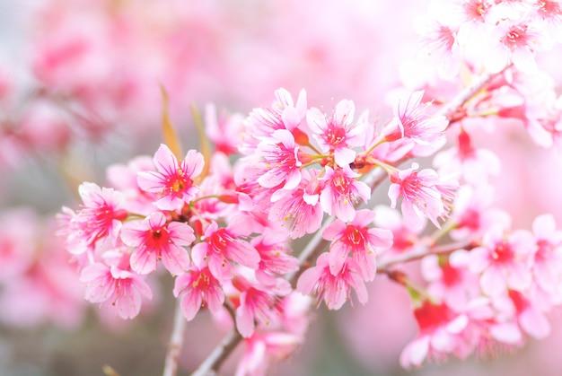 Fleur de cerisier au printemps avec flou artistique Photo Premium