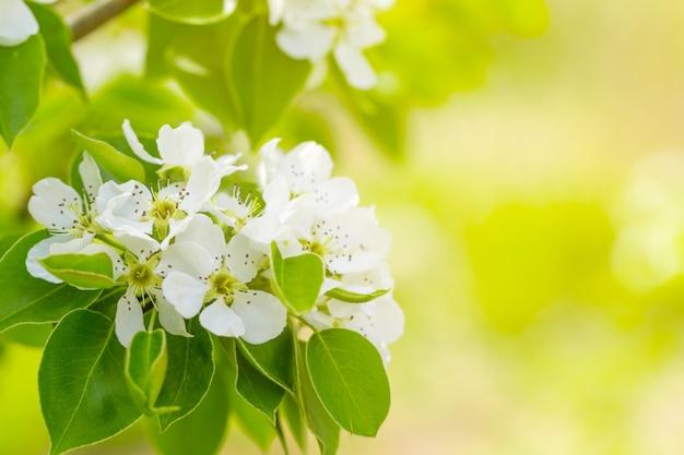 Fleur de cerisier au printemps Photo Premium