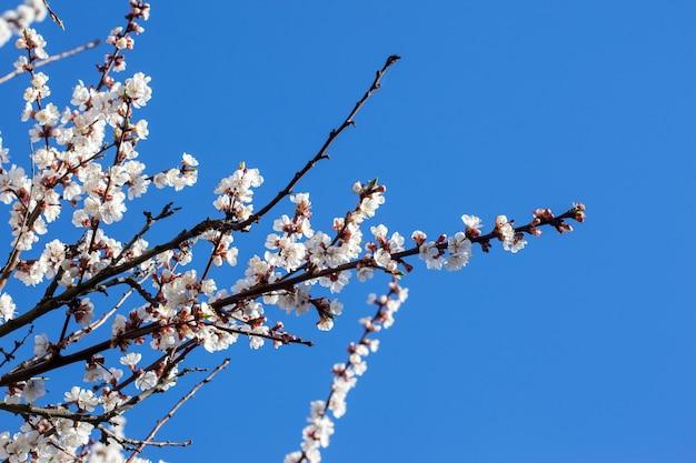 Fleur de cerisier. ciel bleu Photo Premium