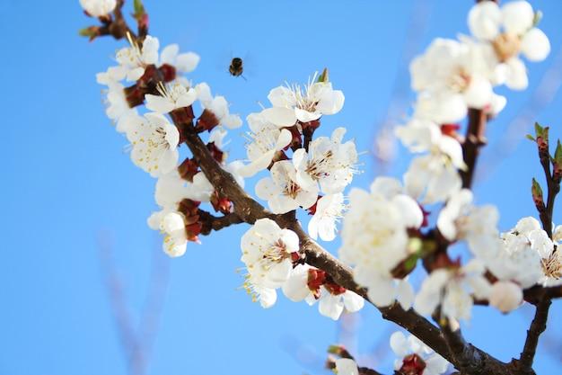 Fleur de cerisier. fleur d'arbre fruitier au printemps Photo Premium