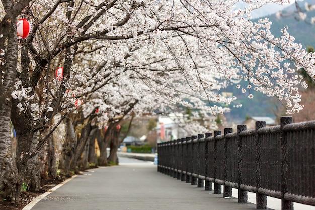 Fleur de cerisier en fleurs le long du sentier pédestre du lac kawaguchiko au nord Photo Premium