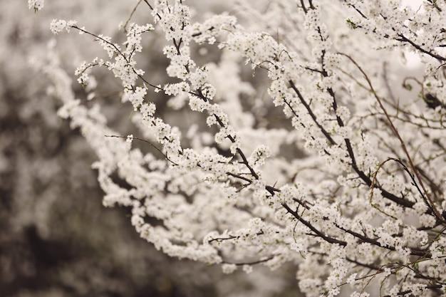 Fleur de cerisier en pleine floraison. fleurs de cerisier en petites grappes sur une branche de cerisier, devenant blanches. Photo Premium