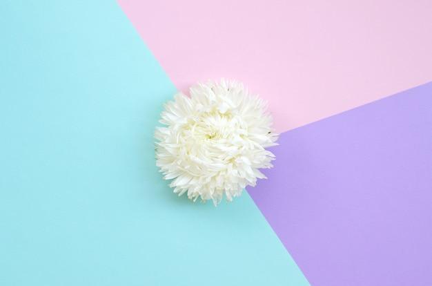 Fleur De Chrysanthème Blanc Sur Fond Bleu Rose Pastel Et Lilas Vue De Dessus Photo Premium