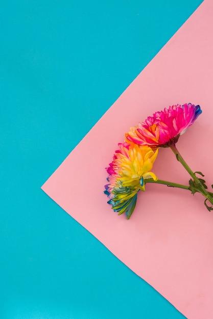 Fleur De Chrysanthème Coloré Sur Fond Rose Et Bleu Photo Premium