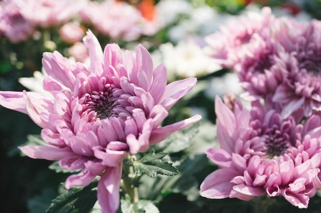 Fleur de chrysanthème rose dans le jardin avec un arrière-plan flou Photo Premium